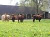 vaches-grange