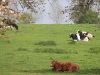 lebourg-vaches