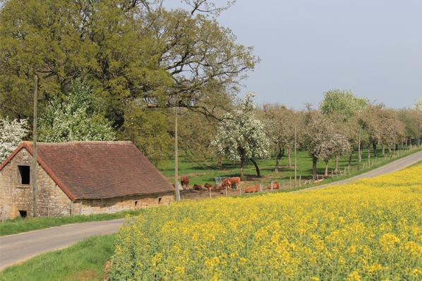 colza-vache